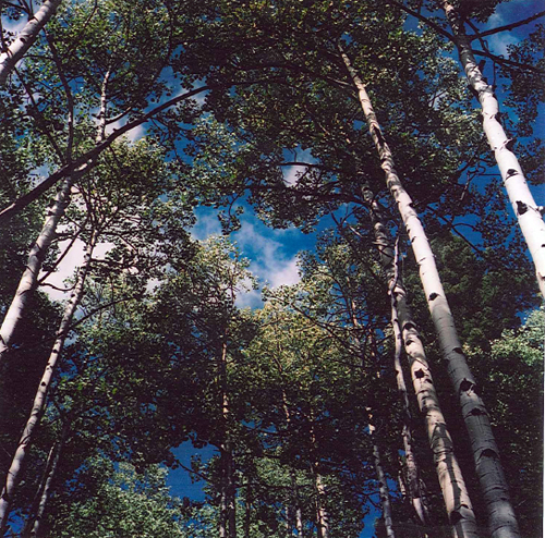 The contrast between aspens and sky is delightful