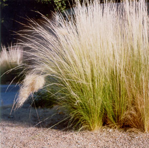 Grass as a xeriscaping element