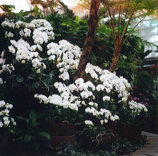 A cascade of lush white orchids