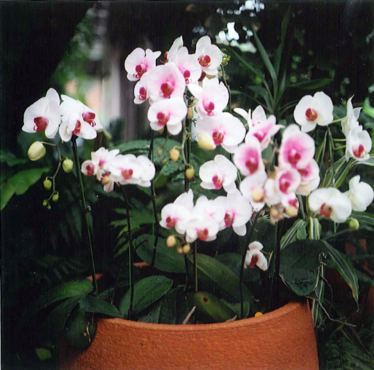 Pink and white orchids in a terra-cotta pot