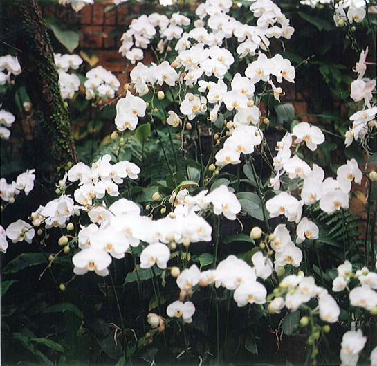 More white orchids