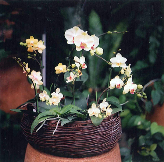 Yellow and pink orchids in a wicker basket
